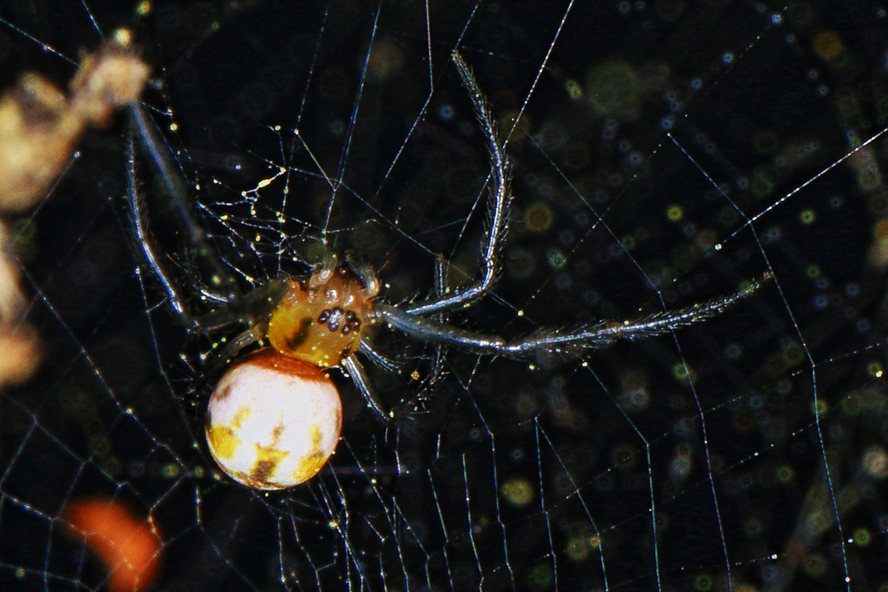 Picture of Trichonephila clavipes (Golden Silk Orb-weaver) - Male - Dorsal,Webs