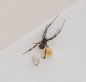Picture of Latrodectus geometricus (Brown Widow Spider) - Female - Dorsal,Egg sacs
