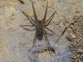 Picture of Tegenaria spp. - Dorsal