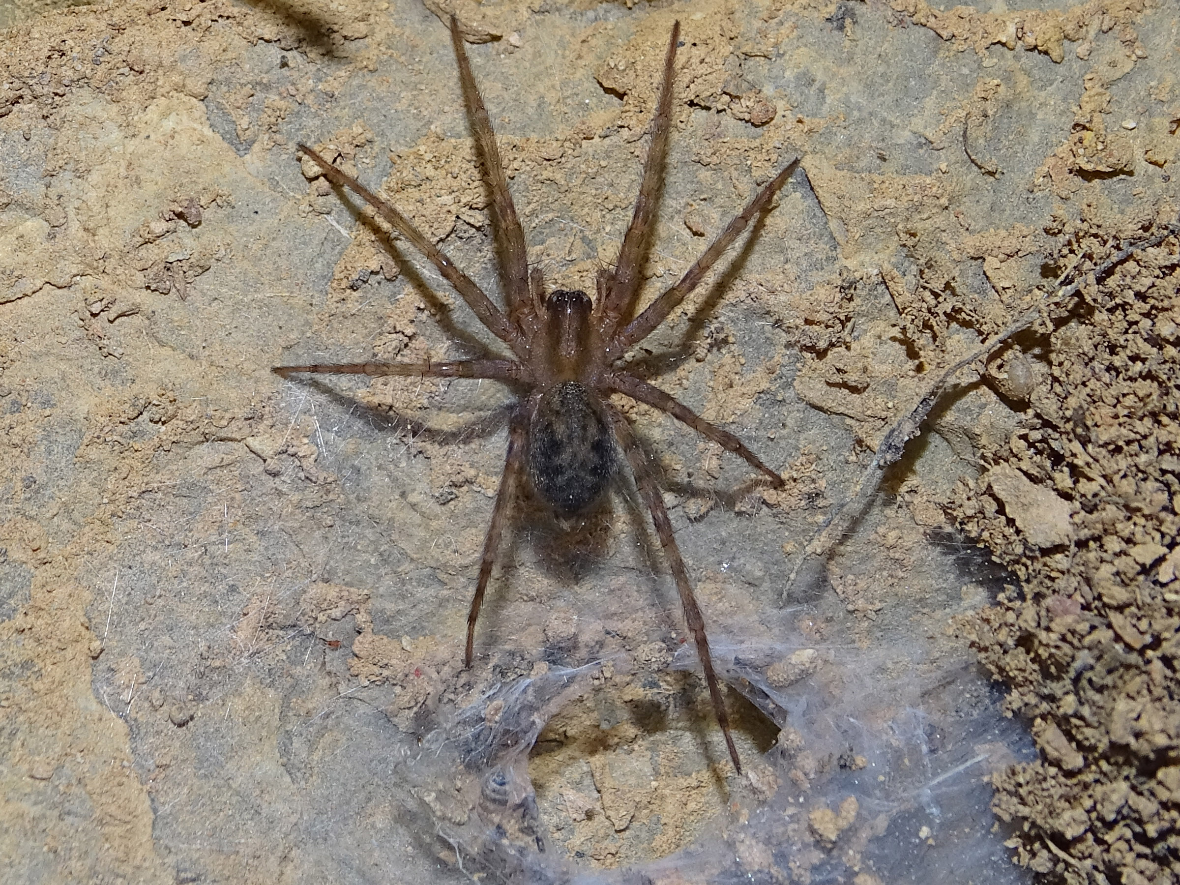Picture of Tegenaria - Dorsal