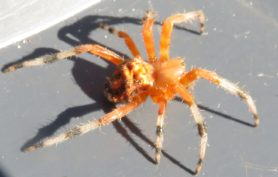 Picture of Araneus marmoreus (Marbled Orb-weaver) - Female - Lateral