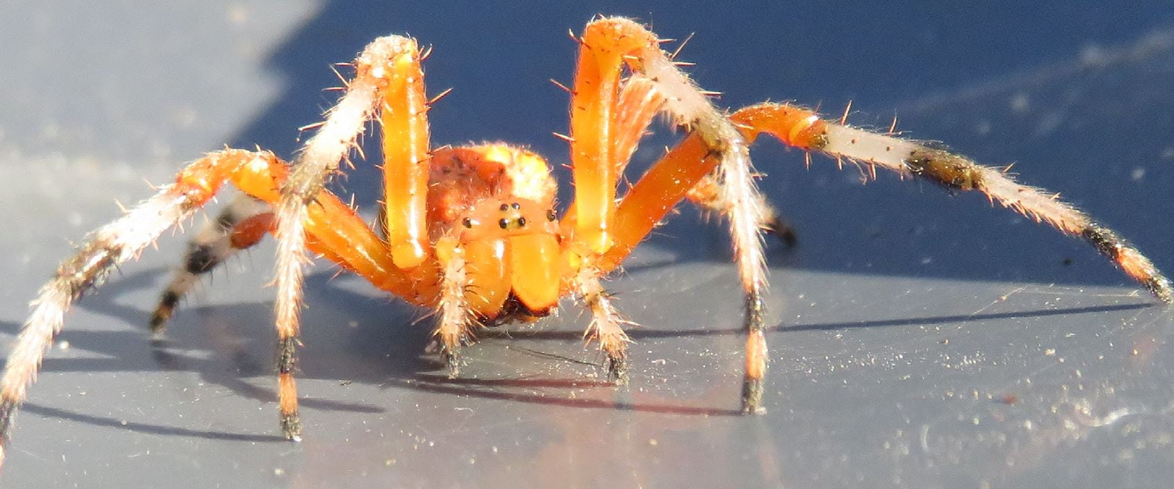 Picture of Araneus marmoreus (Marbled Orb-weaver) - Female - Eyes