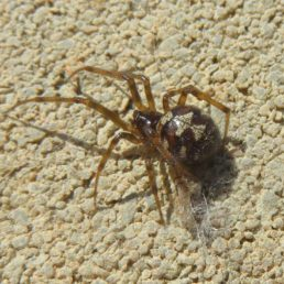 Featured spider picture of Steatoda triangulosa (Triangulate Cobweb Spider)