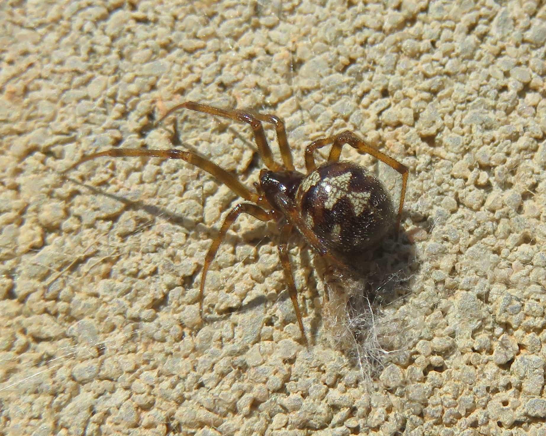 Picture of Steatoda triangulosa (Triangulate Cobweb Spider) - Female - Dorsal