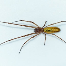 Featured spider picture of Tetragnatha laboriosa (Silver Longjawed Orbweaver)