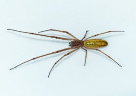 Picture of Tetragnatha laboriosa (Silver Longjawed Orbweaver) - Female - Dorsal