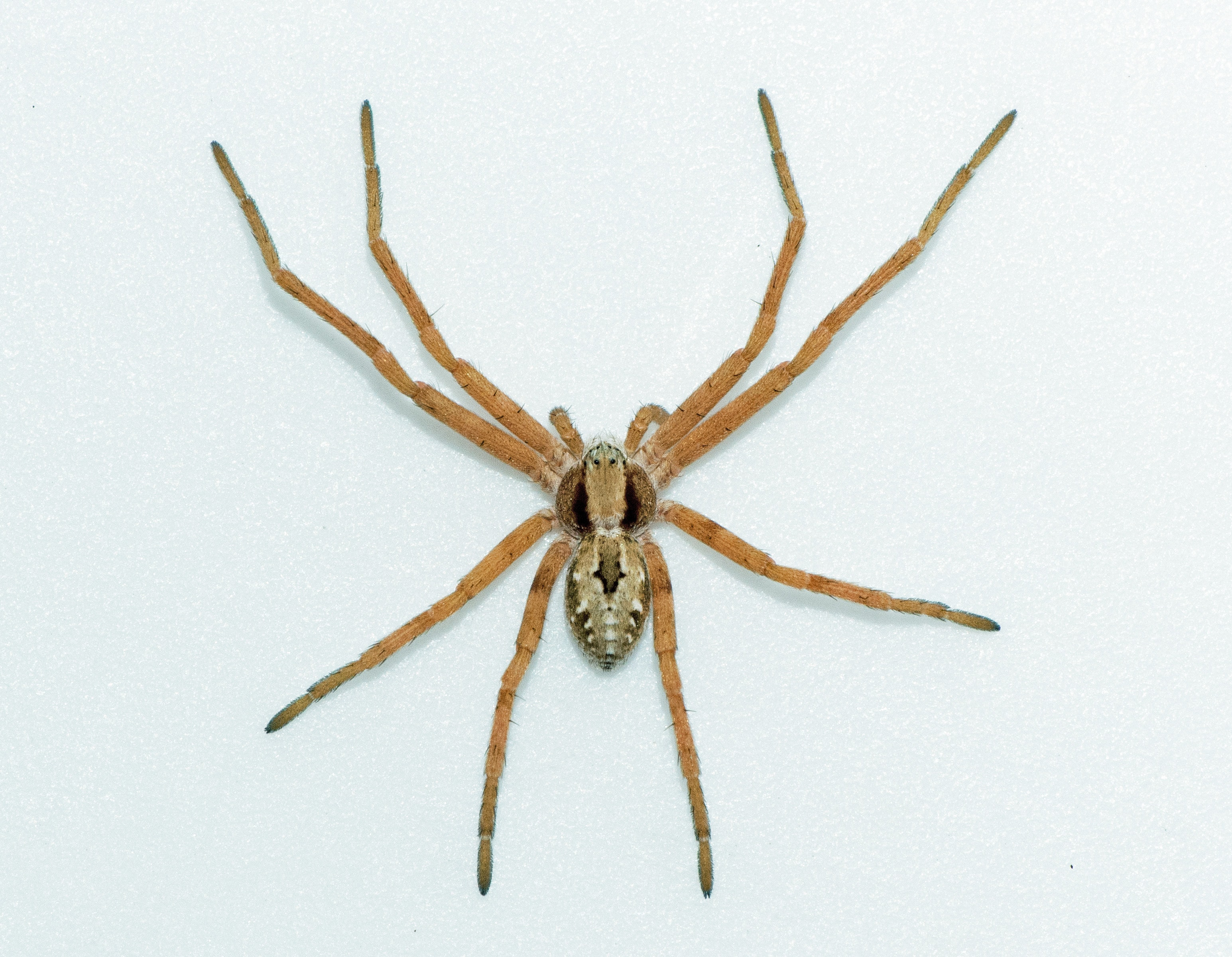 Picture of Thanatus vulgaris (Running Crab Spider) - Female - Dorsal