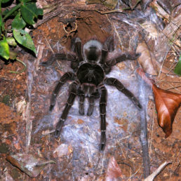 Featured spider picture of Theraphosa blondi (Goliath Bird-eater)