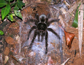 Picture of Theraphosa blondi (Goliath Bird-eater) - Female - Dorsal,Webs