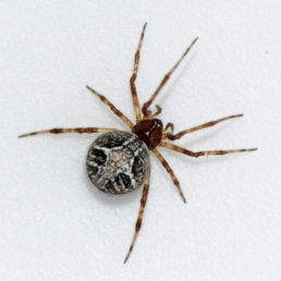 Featured spider picture of Theridion melanurum