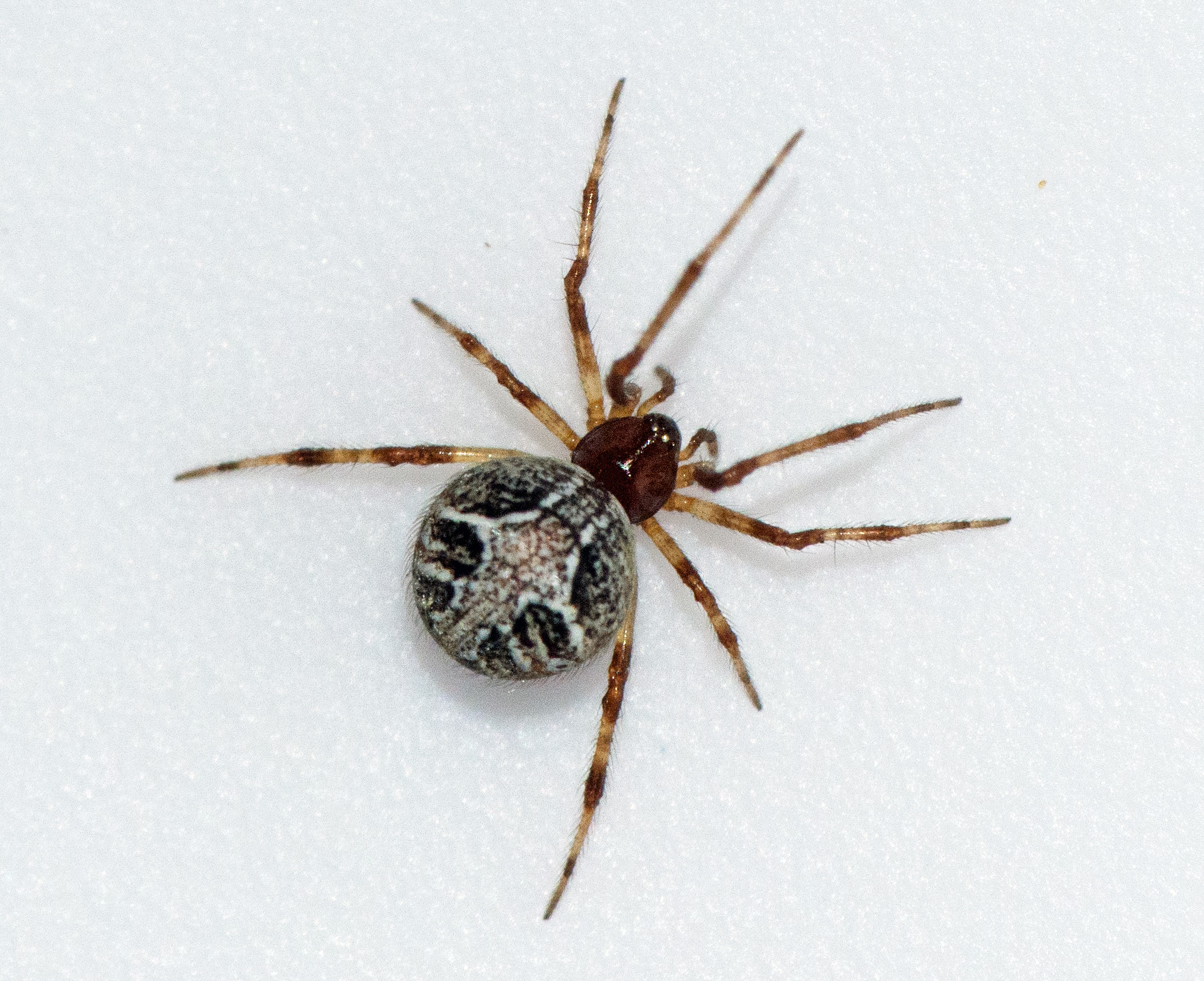 Picture of Theridion melanurum - Female - Dorsal