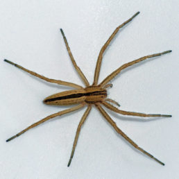 Featured spider picture of Tibellus oblongus