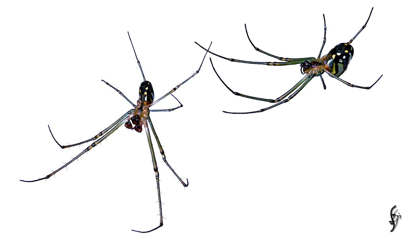 Picture of Leucauge argyra - Male,Female - Ventral