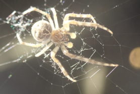 Picture of Larinioides sclopetarius (Bridge Orb-weaver) - Male - Dorsal,Penultimate,Webs