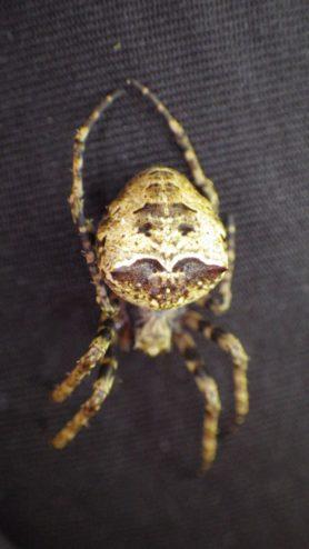 Picture of Gibbaranea spp. - Dorsal