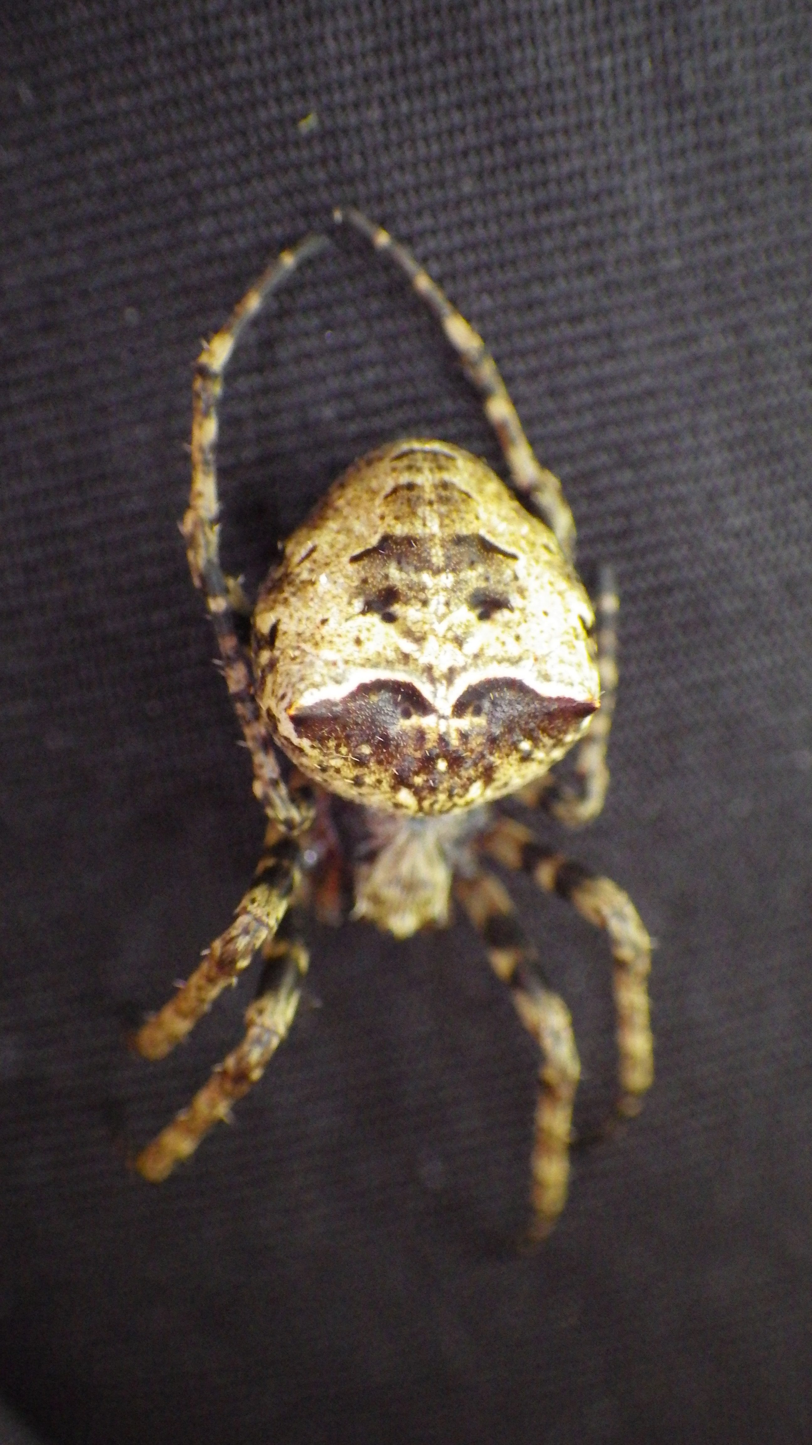 Picture of Gibbaranea - Dorsal