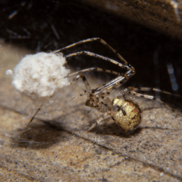Featured spider picture of Platnickina tincta