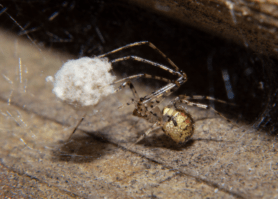 Picture of Platnickina tincta - Female - Egg sacs,Lateral,Webs