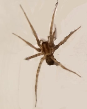 Picture of Tegenaria domestica (Barn Funnel Weaver) - Dorsal,Accidental adventive