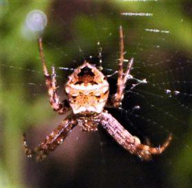 Picture of Gea heptagon (Heptagonal Orb-weaver) - Dorsal,Webs
