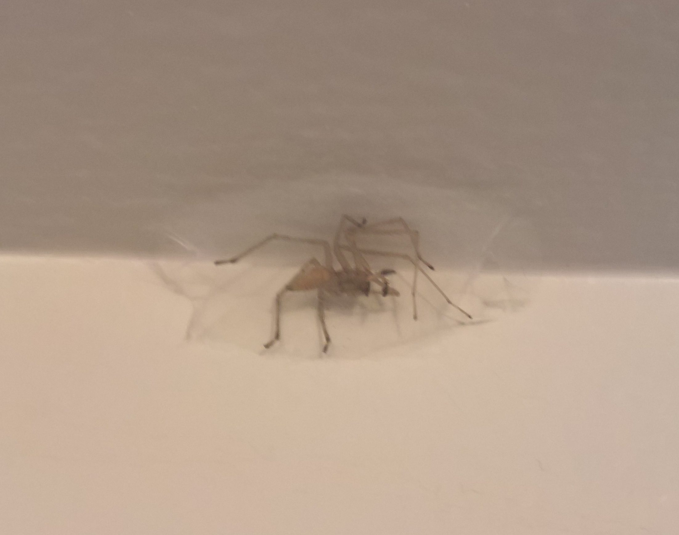Picture of Cheiracanthium mildei (Long-legged Sac Spider) - Male - Ventral,In Retreat