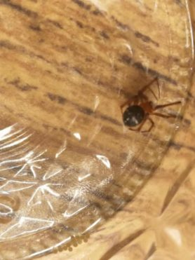 Picture of Nesticodes rufipes (Red House Spider) - Dorsal