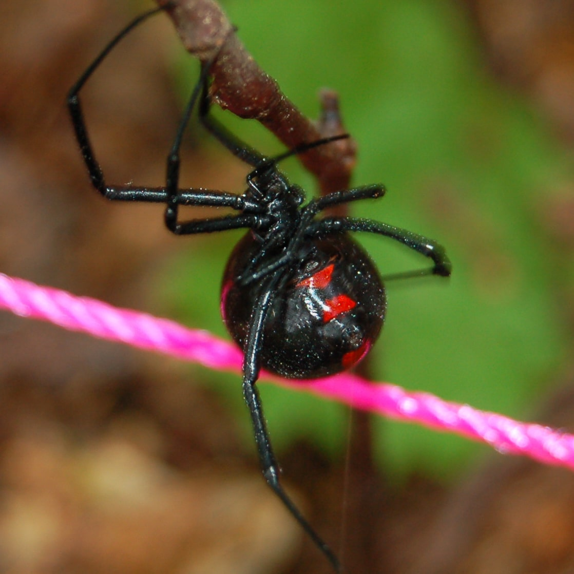 Picture of Latrodectus variolus (Northern Black Widow) - Ventral