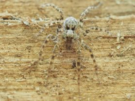 Picture of Pardosa spp. (Thin-legged Wolf Spiders) - Eyes