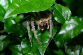 Picture of Phoneutria boliviensis - Eyes
