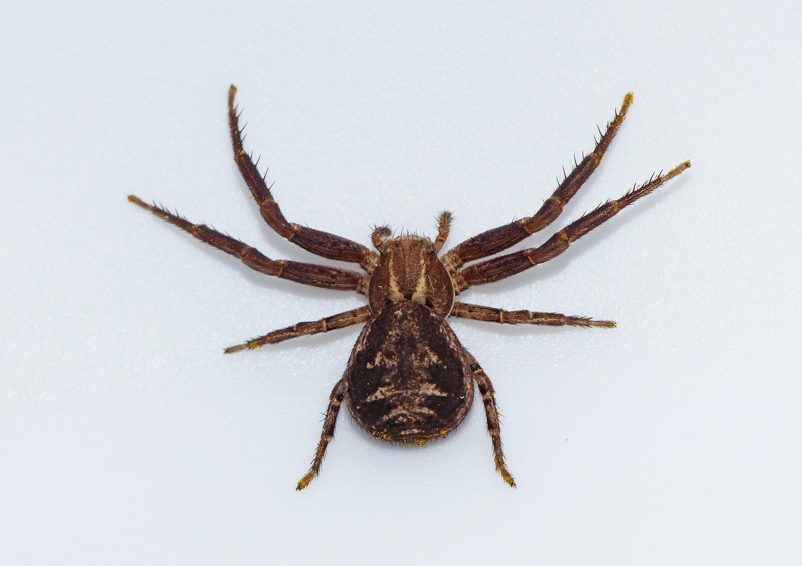 Picture of Xysticus cristatus - Dorsal
