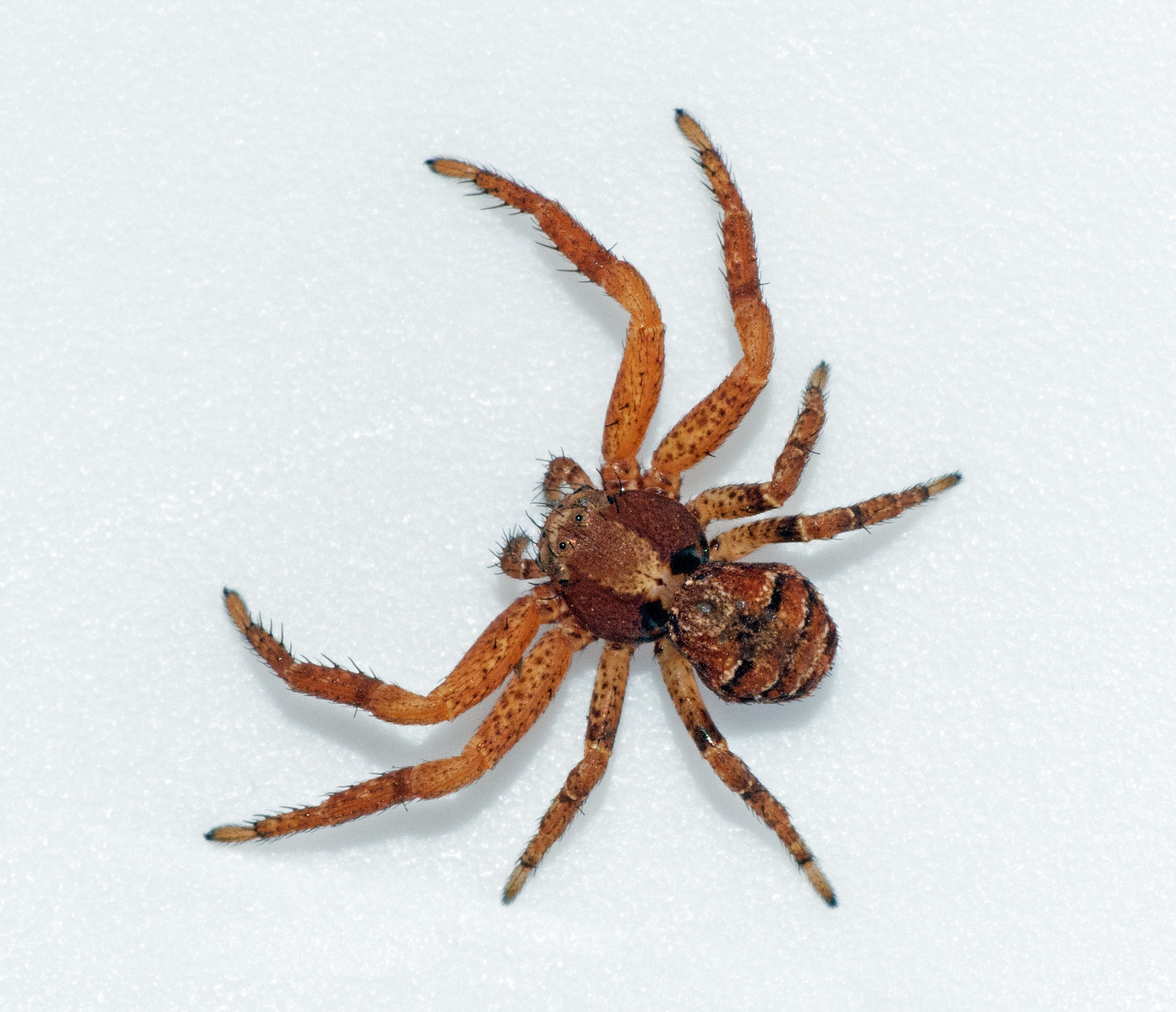 Picture of Xysticus locuples - Female - Dorsal