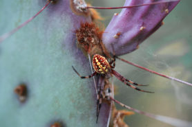 Picture of Neoscona oaxacensis (Western Spotted Orb-weaver) - Dorsal