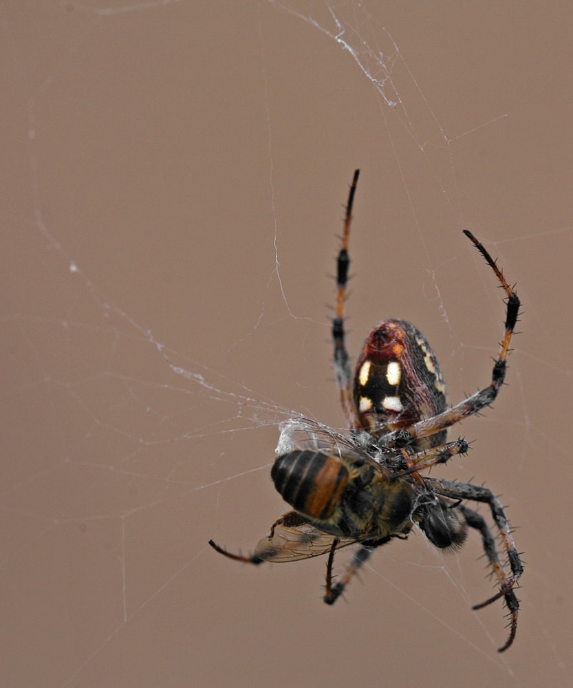 Picture of Neoscona oaxacensis (Western Spotted Orb-weaver) - Female - Ventral,Webs,Prey