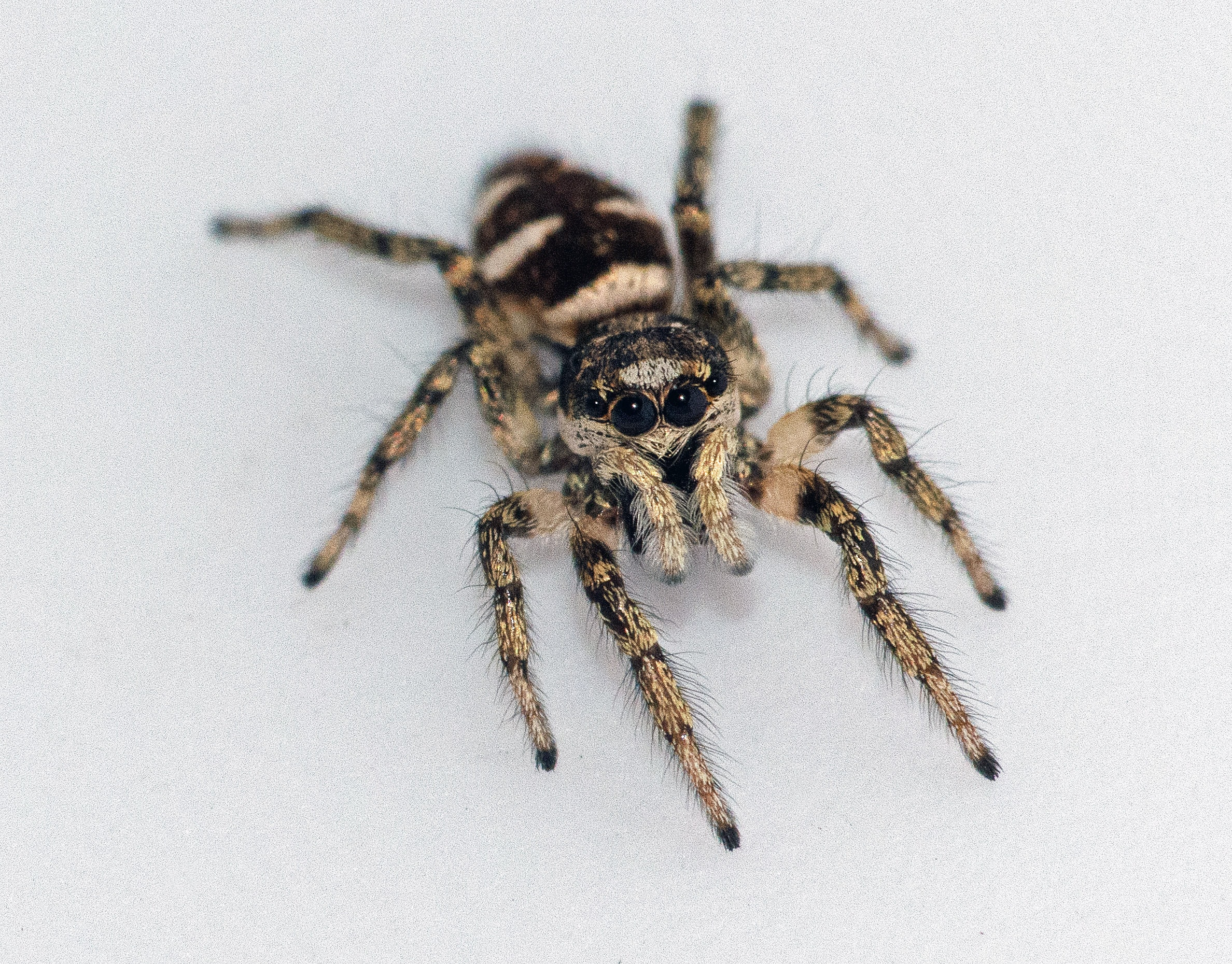 Picture of Salticus scenicus (Zebra Jumper) - Female - Dorsal,Eyes