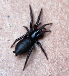 Picture of Zelotes spp. - Dorsal