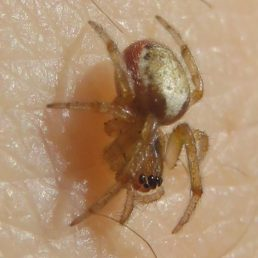 Featured spider picture of Zygiella x-notata (Missing Sector Orb-weaver)