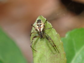 Picture of Mangora placida (Tuft-legged Orb-weaver) - Dorsal