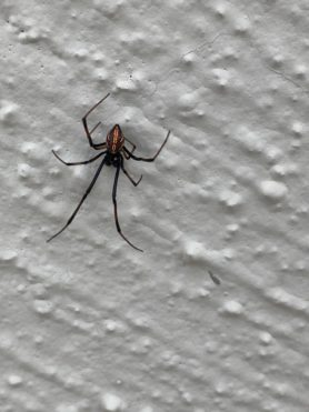 Picture of Latrodectus hesperus (Western Black Widow) - Male - Dorsal