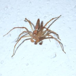 Featured spider picture of Oxyopes birmanicus (Burmese Lynx Spider)
