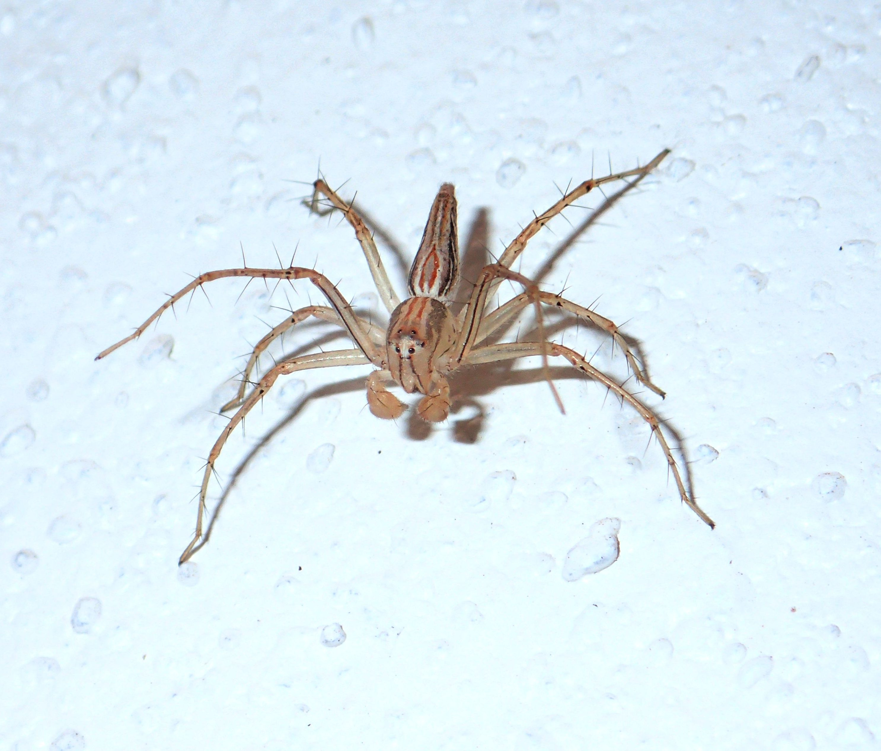 Picture of Oxyopes birmanicus (Burmese Lynx Spider) - Male - Dorsal