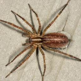 Featured spider picture of Agelenopsis potteri