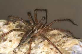 Picture of Agelenopsis spp. (Grass Spiders) - Dorsal,Lateral