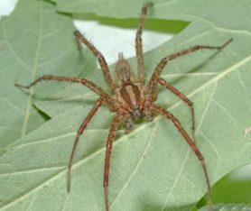 Picture of Agelenopsis spp. (Grass Spiders) - Male - Dorsal,Eyes