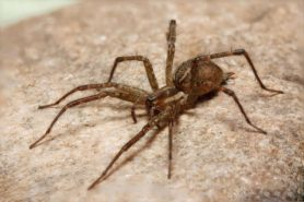 Picture of Agelenopsis spp. (Grass Spiders) - Lateral