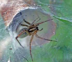 Picture of Agelenopsis spp. (Grass Spiders) - Female - Eyes,Lateral,Webs