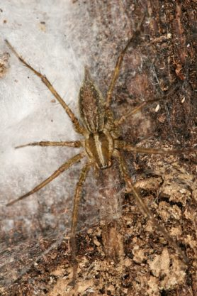 Picture of Agelenopsis spp. (Grass Spiders) - Dorsal,Egg Sacs