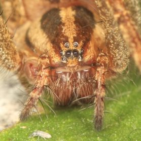 Picture of Agelenopsis potteri - Female - Eyes