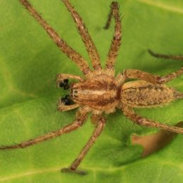 Featured spider picture of Agelenopsis utahana