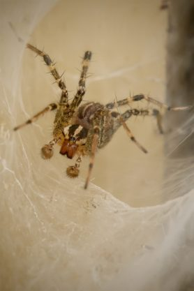 Picture of Agelenopsis spp. (Grass Spiders) - Male - Eyes,Webs