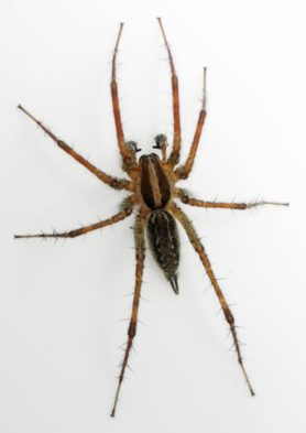 Picture of Agelenopsis potteri - Dorsal